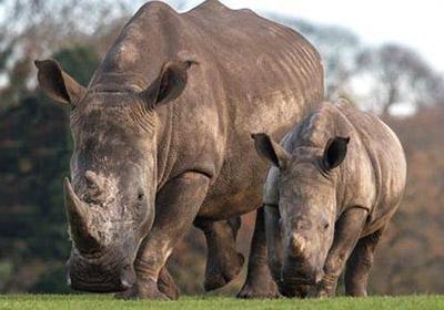 rhino-week-400px