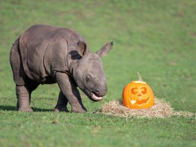 01 - Indian rhino calf, Inesh, enjoys a spooky treat at West Midland Safari Park.