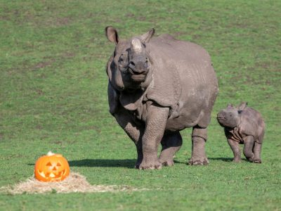 02 - Indian rhino calf, Inesh and mother Seto, enjoy a spooky treat at West Midland Safari Park.