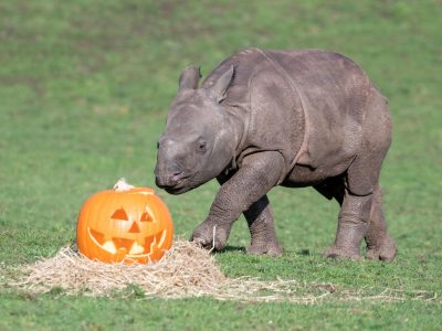 03 - Indian rhino calf, Inesh, enjoys a spooky treat at West Midland Safari Park
