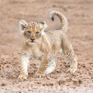 05_11_19-Lion-Cubs-02-(Scars-Cubs)