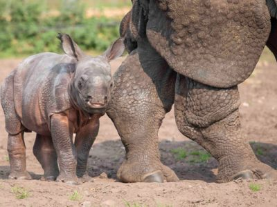 Copy-Inesh,-West-Midland-Safari-Park's-first-Indian-Rhino-calf-following-his-name-reveal-(1)-600