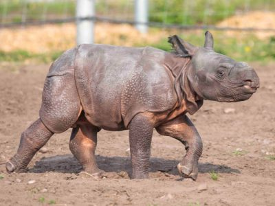 Copy-Inesh,-West-Midland-Safari-Park's-first-Indian-Rhino-calf-following-his-name-reveal-(2)-600