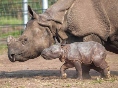 Copy-Inesh,-West-Midland-Safari-Park's-first-Indian-Rhino-calf-following-his-name-reveal-(3)-600