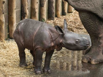 Indian Rhino Calf 04