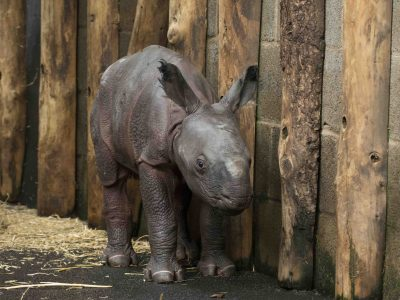 Indian Rhino Calf 05