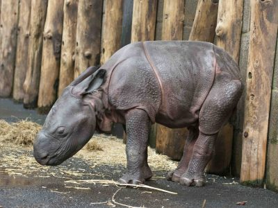 Indian Rhino Calf 06