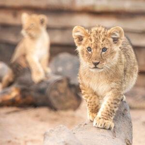 Lion-Cubs-04