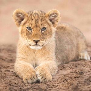 Lion-Cubs-09-(Scars-Cubs)