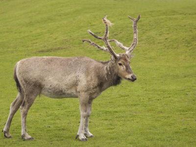 PR IMAGE 03 Pere David's Deer