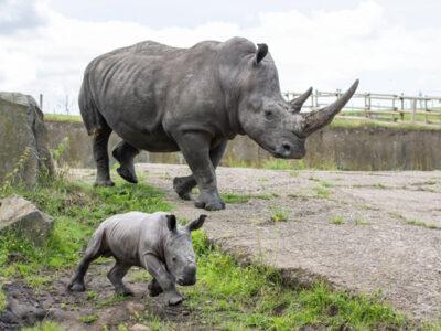 Photo-1--West-Midland-Safari-Park-announces-the-arrival-of-a-new-white-rhino-calf-600