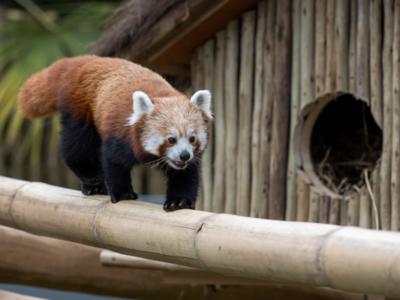 Red-Panda-06-600