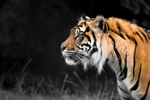 Sumatran-Tiger-14-Nakal