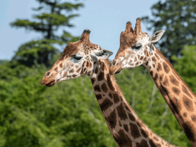 The-two-story-Lodges-will-offer-panoramic-views-of-the-Parks-reserves-including-giraffe
