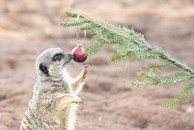 WMSP Christmas Tree Treats Meerkats 05-12-19 pic1 copy