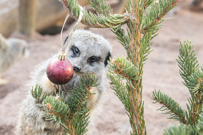 WMSP Christmas Tree Treats Meerkats 05-12-19 pic3 copy