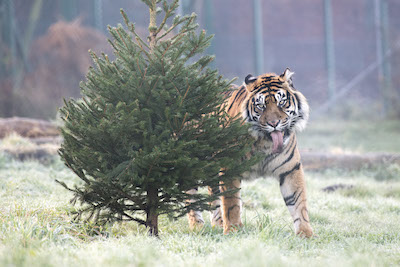 WMSP Christmas Tree Treats Tigers 05-12-19 pic1 copy