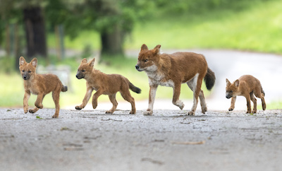 Three endangered dhole pups have been born at West Midland Safari Park.