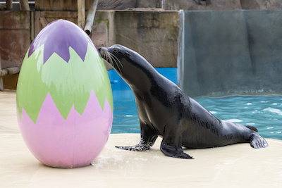 California sea lion, Callum, is eggcitedly getting ready for the Easter Eggstravaganza at West Midland Safari Park.