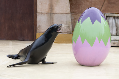 Bounty is one of three sea lions at the Park who were enlisted to inspect some of the Park's Easter decorations.