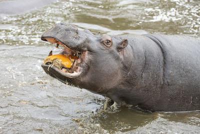 WMSP Halloween Hippos 31-10-19 pic1 copy