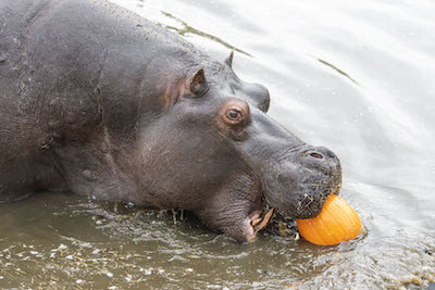 WMSP Halloween Hippos 31-10-19 pic4 copy
