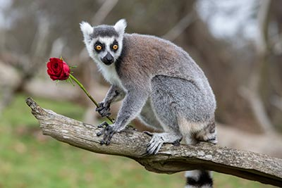 WMSP-Lemur-Valentines-14-02-19-pic3-400px