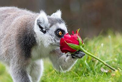 WMSP-Lemur-Valentines-14-02-19-pic8-400px