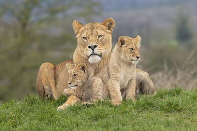 The new lion cubs at West Midland Safari Park have had their first day out on the safari. (Mum Amber with two cubs).