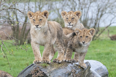 The cubs, now at five months old, have enjoyed getting to know every inch of their new home.