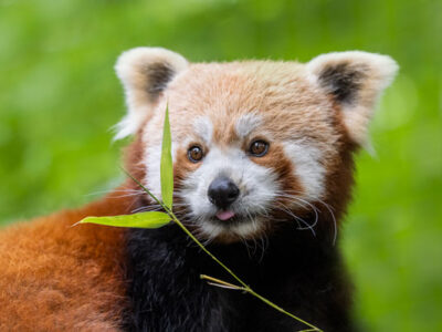 WMSP-Red-Panda-Cottages-Open-04-600