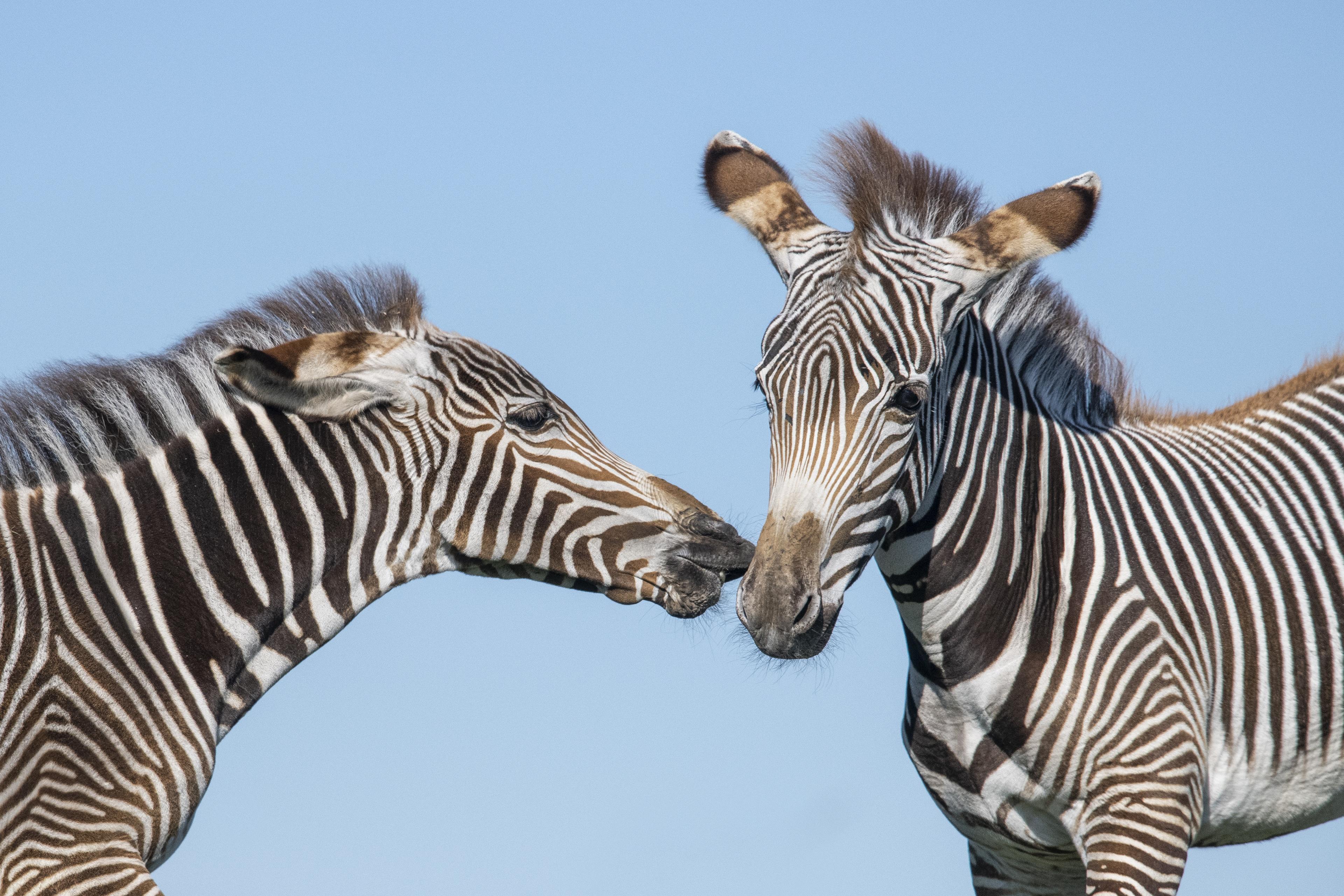 21185e514f WMSP-Safari-Grevy s Zebra Foals 09 - West Midland Safari   Leisure Park