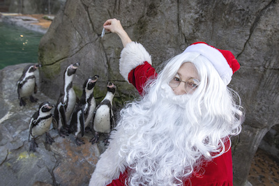 Santa and the 22 Humboldt penguins will be neighbours for the next six weeks.