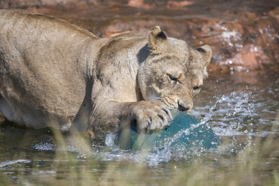 The Park's pride of tawny lions have been playing with their 'bath toys'.