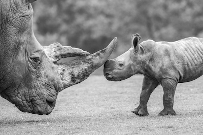 Matthew Lissimore's award winning photo of baby white rhino Granville, nose-to-nose with adult, Trixie.