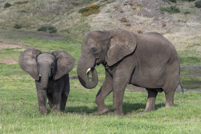 African elephants, Sutton and mum Five.