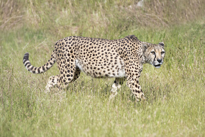A cheetah at West Midland Safari Park