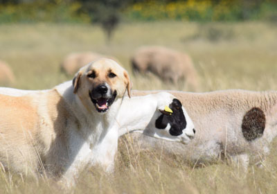 conservation-dogs-400px