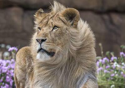 lion-week-400px