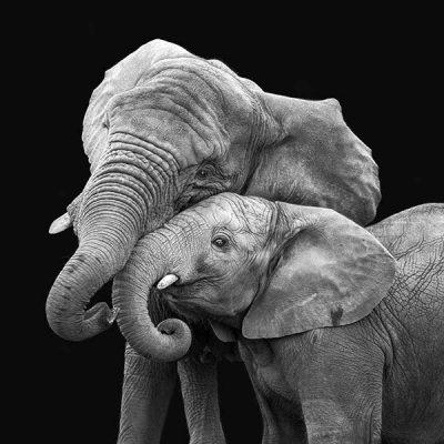 photo-African-Elephants-35-Black-Background-600px