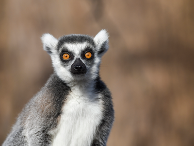 photo-lemur-600px