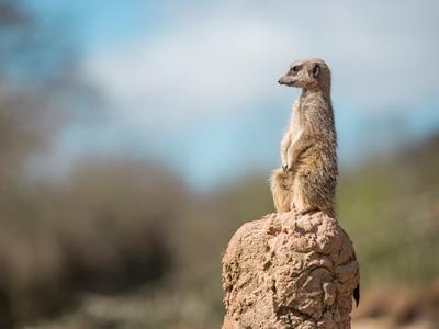photo-meerkat-600px
