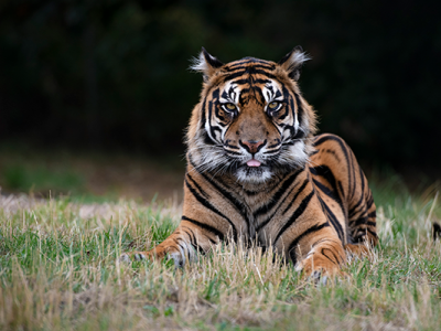 photo-tiger-600px