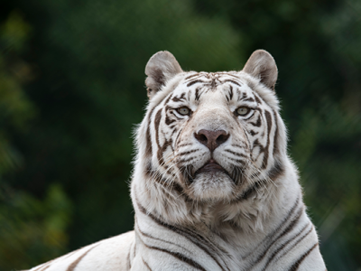 photo-whitetiger-600px