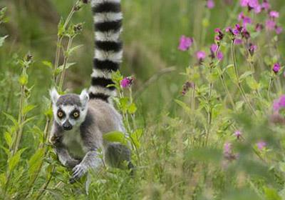 protect-lemurs-400px