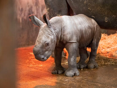 rhino-calf-01