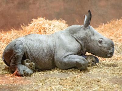 rhino-calf-02