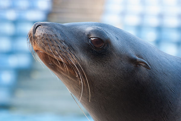 STAR OF THE SEA LION SHOW